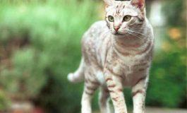 """Sering Dipakai """"Mandi"""", Peneliti Ungkap Rahasia pada Lidah Kucing"""